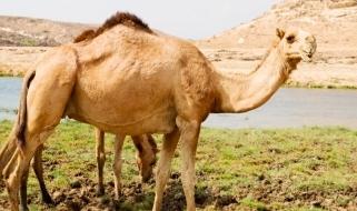 Il dromedario: uno degli animali simbolo delle terre omanite