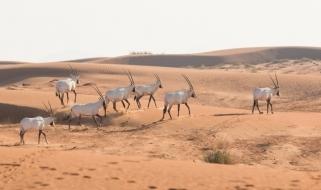 Vacanze in Oman: incontro con un gruppo di orici d'Arabia