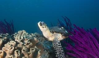 Tartaruga marina e coralli dei fondali dell'Oman