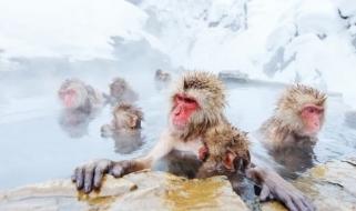 Macachi giapponesi si riscaldano immergendosi nelle acque termali
