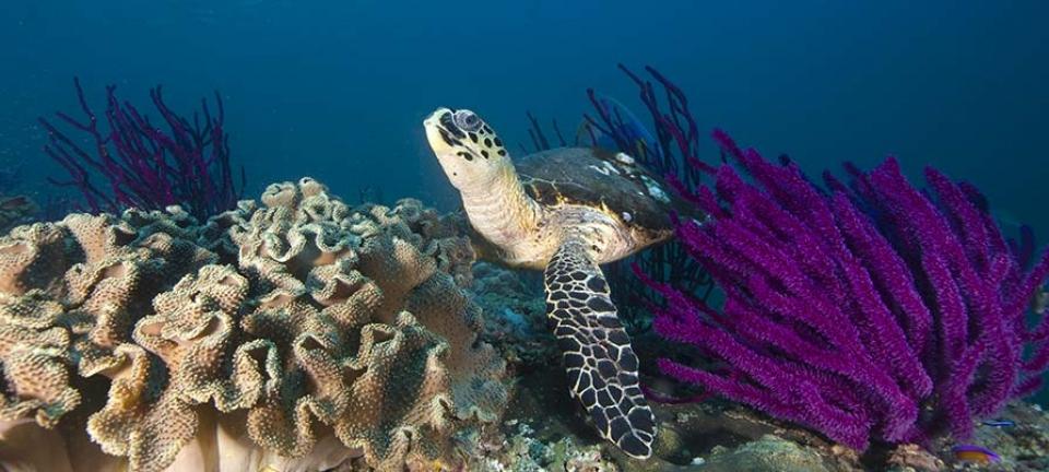 Tartaruga fotografata durante un'immersione in Oman
